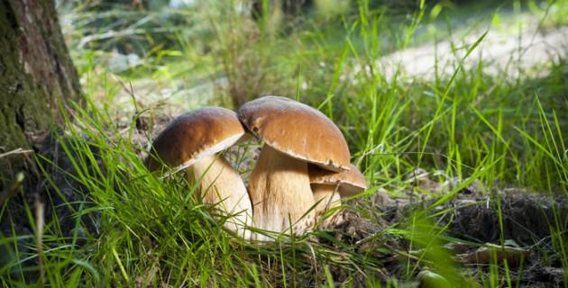 champignon-danger