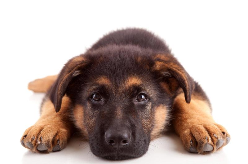 un chien de garde une bonne alarme pour la maison. Black Bedroom Furniture Sets. Home Design Ideas